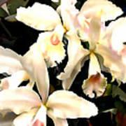 Ivory Cattleya Orchids Art Print