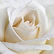 Ivory Rose Flower Art Print