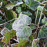 Ivy Leaves Art Print