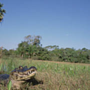 Jacare Caiman In Marshland Pantanal Art Print