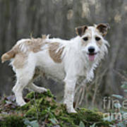 Jack Russell Dog In Autumn Setting Art Print