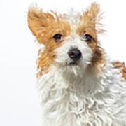 Jack Russell Terrier - The Amanda Art Print