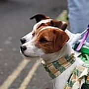 Jack Russell Terriers Art Print