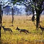 Jackals On Savanna. Safari In Serengeti. Tanzania. Africa Art Print