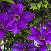 Jackmanii Purple Clematis Vine Art Print