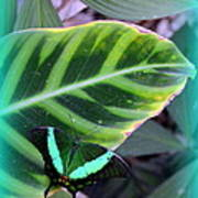 Jade Butterfly With Vignette Print by Carla Parris