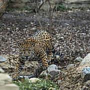 Jaguar 4 Art Print