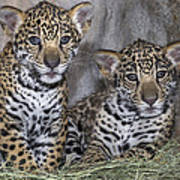 Jaguar Cubs Art Print