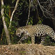 Jaguar Cuiaba River Brazil Art Print