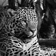 Jaguar Mono Art Print