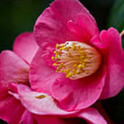 Japanese Camellia-the Official State Flower Of  Alabama Art Print