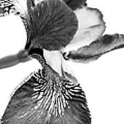 Japanese Iris Flower Monochrome Art Print
