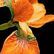 Japanese Iris Orange Black Art Print