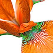 Japanese Iris Orange White Five Art Print