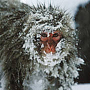 Japanese Macaque Covered In Snow Japan Art Print