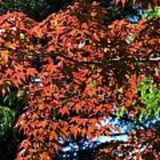 Japanese Maple Canopy Art Print
