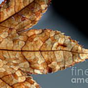 Japanese Maple Leaf Brown - 1 Art Print