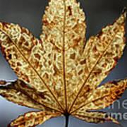 Japanese Maple Leaf Brown - 3 Art Print