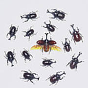 Japanese Rhinoceros Beetle Males Art Print