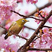Japanese White-eye On Cherry Blossoms Art Print