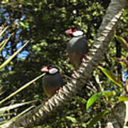 Java Sparrows Art Print by Colleen Cannon