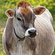 Jersey Cow With Attitude - Vertical Art Print