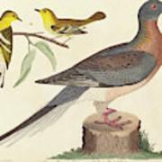 John G. Warnicke After Alexander Wilson, Passenger Pigeon Art Print