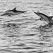 Jump For Joy - Common Dolphins Leaping. Art Print