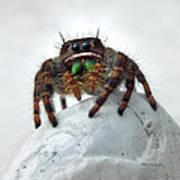 Jumper Spider 2 Art Print