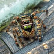 Jumper Spider 3 Art Print