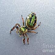 Jumping Spider - Green Salticidae Art Print