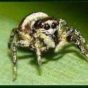 Jumping Spider Art Print