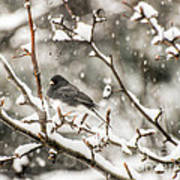 Junco In The Snow Art Print