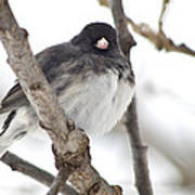 Junco Posing Art Print