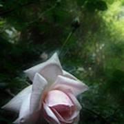 June Rose Art Print