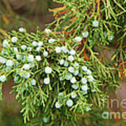 Juniper Berries Art Print