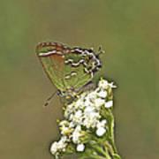 Juniper Or Olive Hairstreak Butterfly - Callophrys Gryneus Art Print