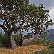 Juniper Tree On The Edge Of The Verde Valley Art Print
