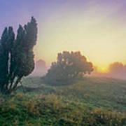 Juniper Trees In Early Morning Fog  Art Print