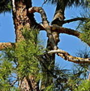 Just A Tangle Of Pine Tree Branches Art Print