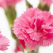 Just Carnations Art Print