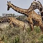 Just Giraffes Art Print