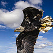 Juvenile Bald Eagle Art Print