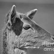 Juvenile Deer Close-up V2 Art Print