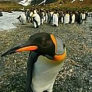 Juvenile King Penguin Art Print
