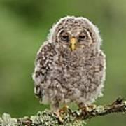 Juvenile Ural Owl Art Print