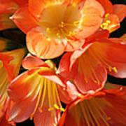 Kaffir Lily Art Print