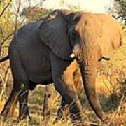 Kalahari Elephant Art Print