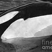 Kandu Orca Seattle Aquarium 1969 Pat Hathaway Photo Killer Whale Seattle Art Print
