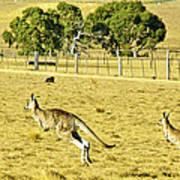 Kangaroo Hop Art Print